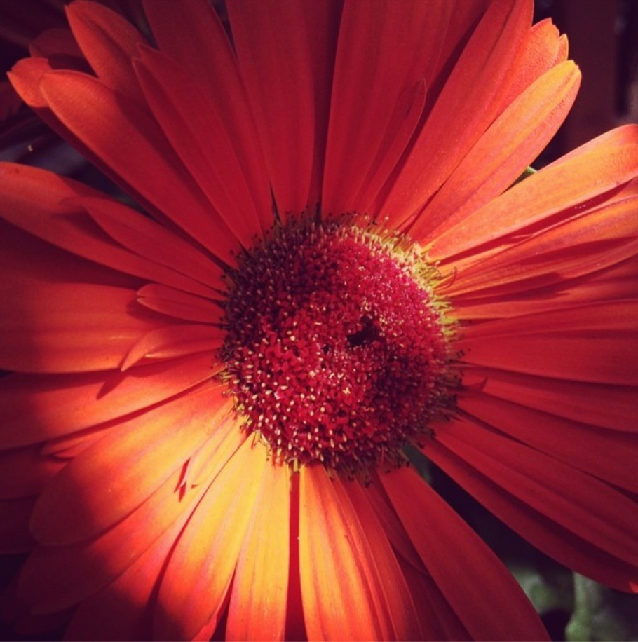 Royal Gerbera Daisy